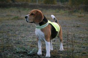Pies w kamizelce dla psów odblaskowa