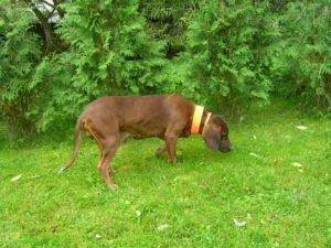 Pies z opaską na trawie